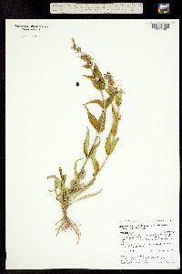 Penstemon angustifolius ssp. angustifolius image