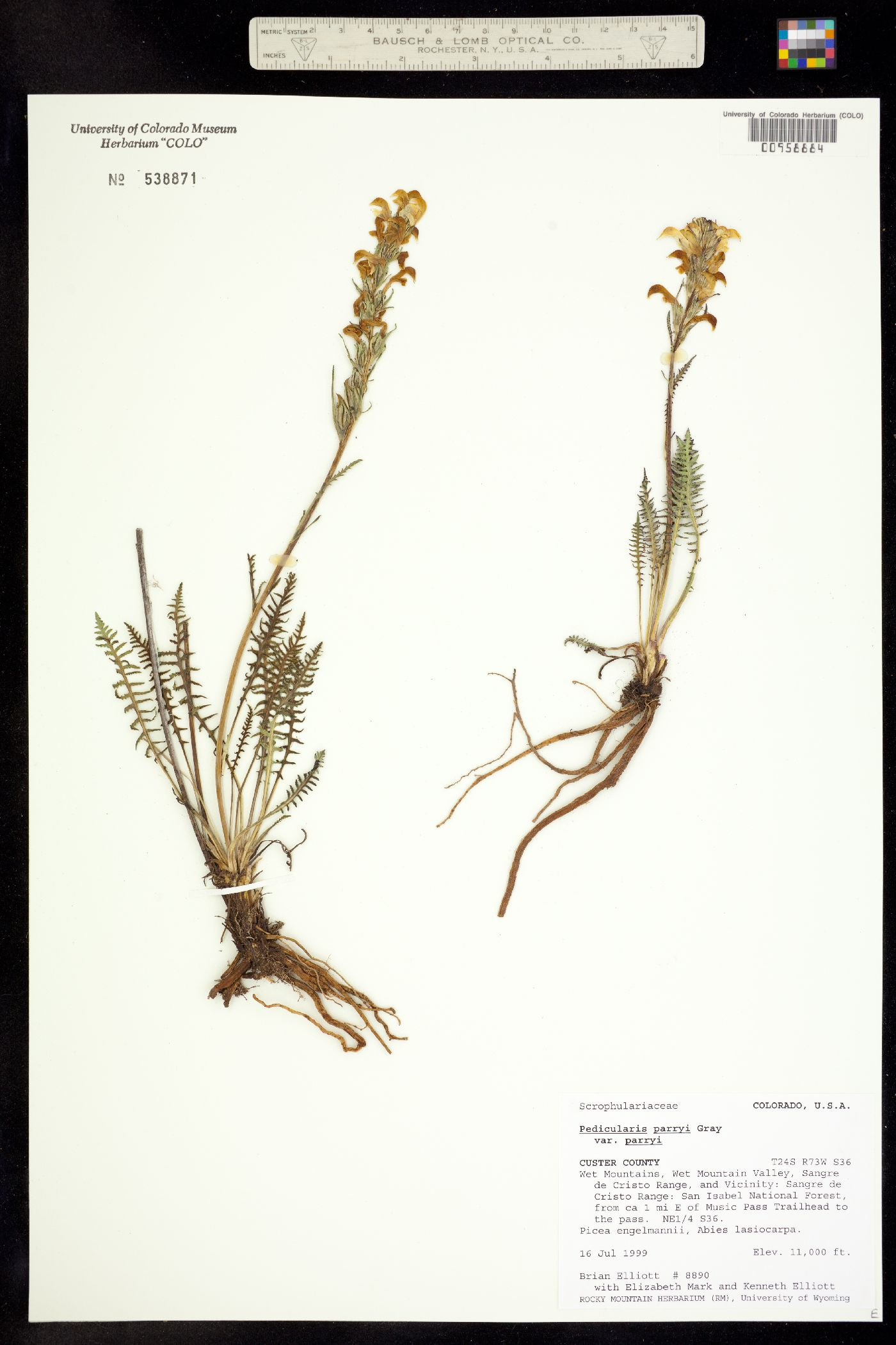 Pedicularis parryi ssp. parryi image