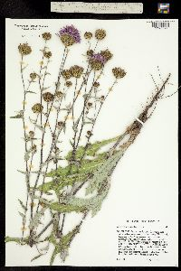 Image of Cirsium perplexans