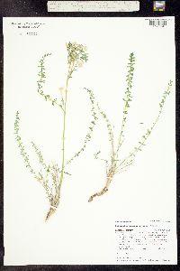 Polemonium brandegei image