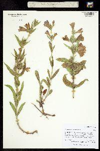 Image of Penstemon eriantherus