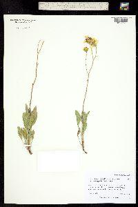 Platyschkuhria integrifolia var. oblongifolia image