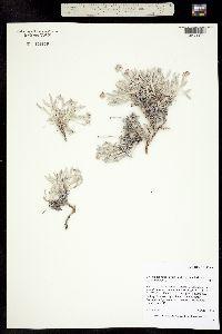 Image of Eriogonum pauciflorum