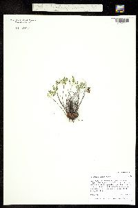 Notholaena standleyi image