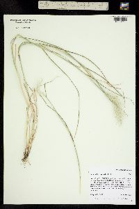 Bothriochloa springfieldii image