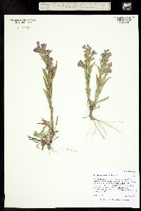 Penstemon auriberbis image