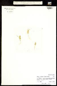 Image of Botrychium tunux