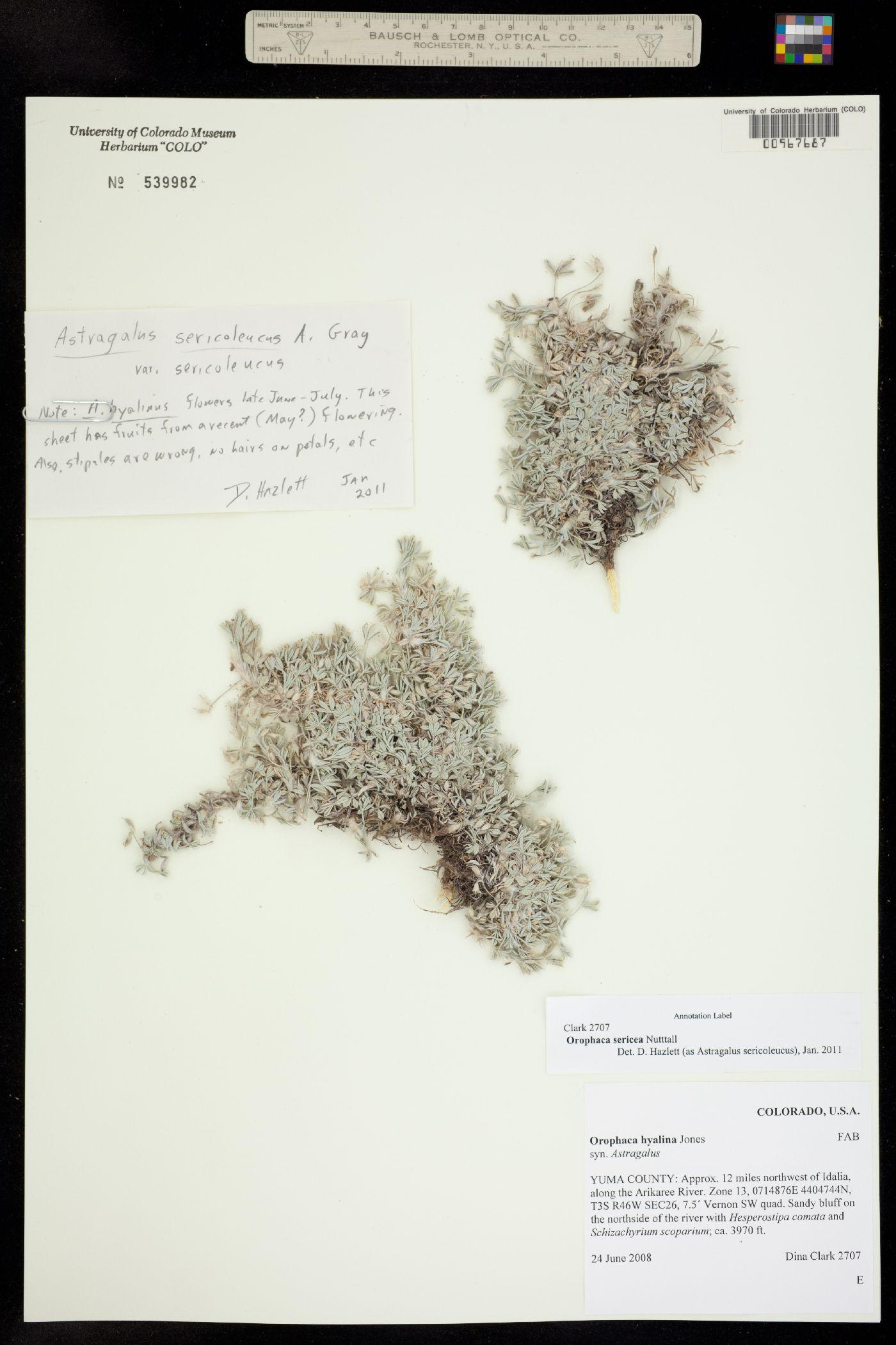 Orophaca sericea image