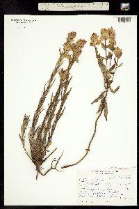 Image of Castilleja sulphurea