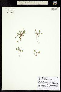 Image of Erigeron kachinensis