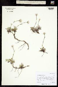 Image of Antennaria howellii