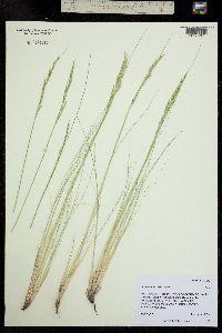 Festuca arizonica image
