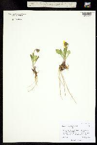 Image of Ligularia taraxacoides