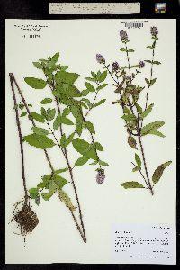 Mentha piperita image