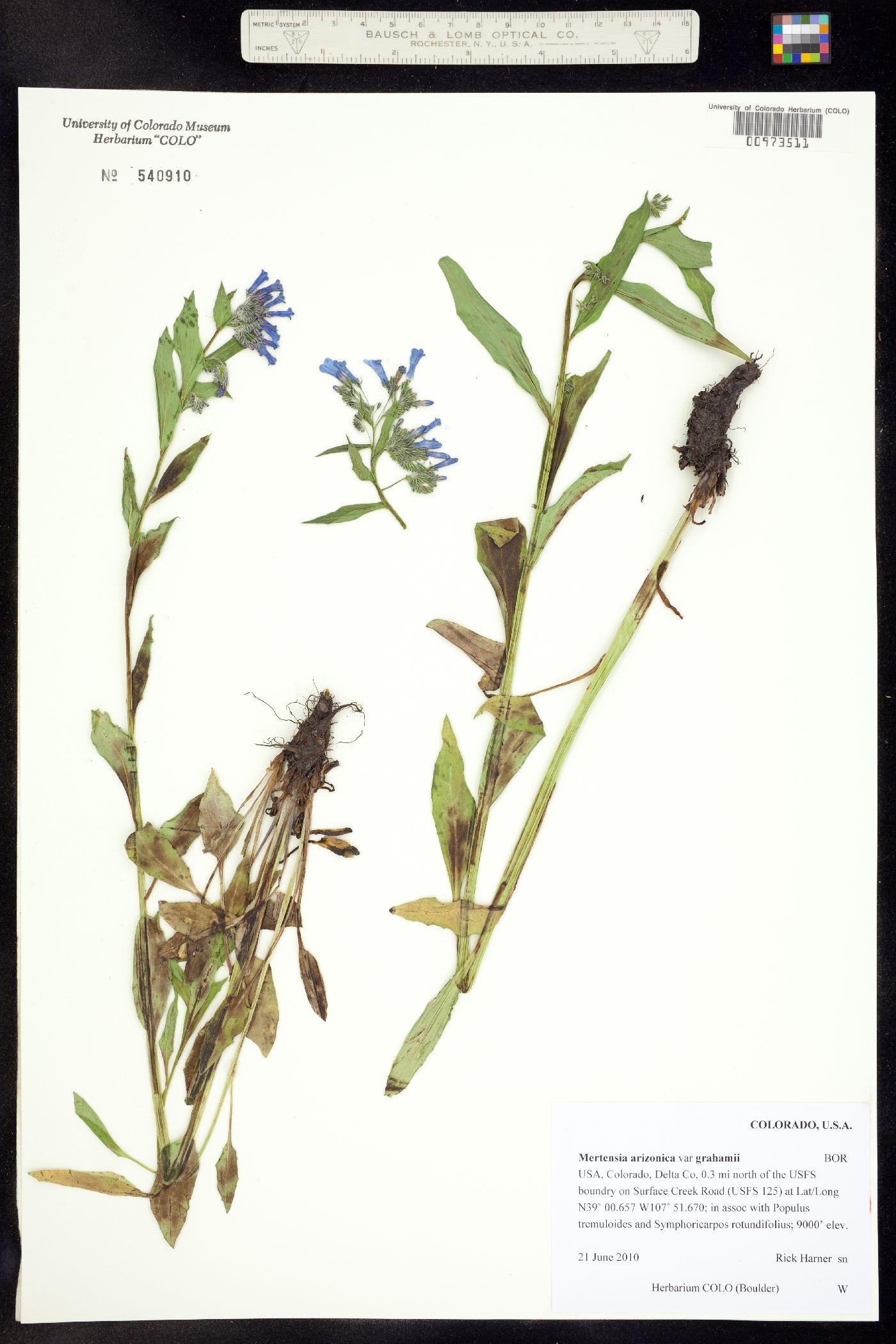 Mertensia arizonica var. grahamii image