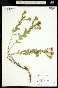 Image of Grindelia fastigiata
