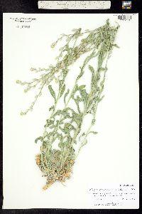 Image of Fibigia eriocarpa