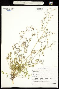 Image of Thalictrum heliophilum