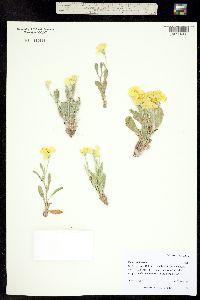 Psilostrophe bakeri image