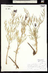 Clematis hirsutissima var. hirsutissima image