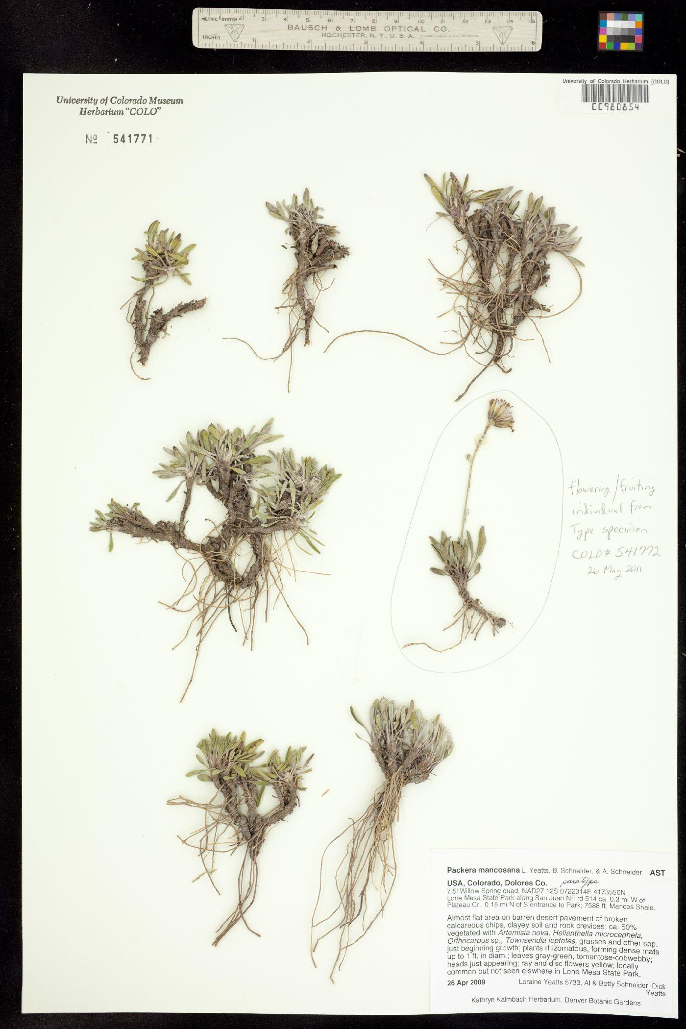 Packera mancosana image