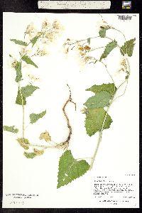 Image of Lunaria annua