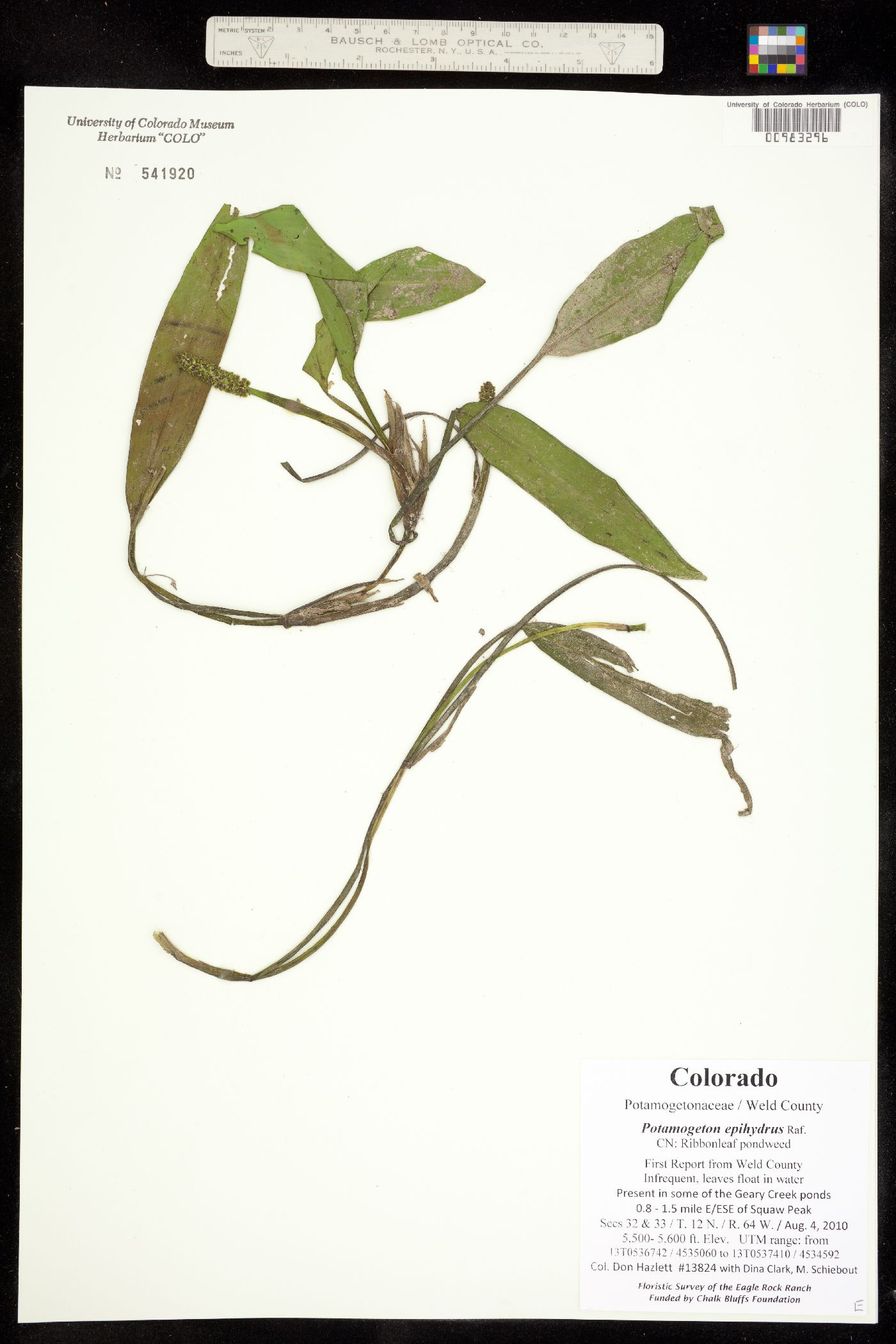 Potamogeton epihydrus var. nuttallii image