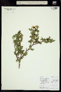 Image of Rosa harisonii