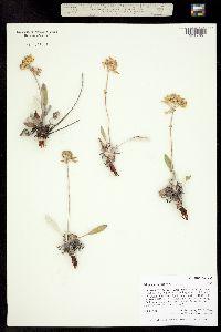 Image of Eriogonum flavum