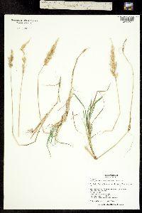 Polypogon interruptus image