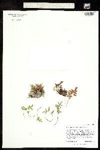 Pellaea glabella ssp. simplex image