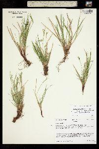 Carex rossii image