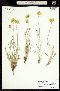 Tetraneuris ivesiana image