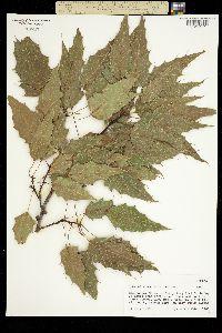Quercus albocincta image