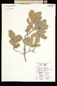 Quercus basaseachicensis image