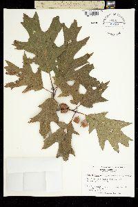 Quercus borealis image