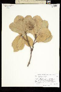 Quercus jonesii image
