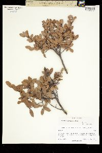 Quercus depressipes image