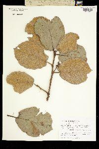 Quercus conzattii image