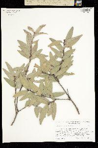 Quercus durifolia image