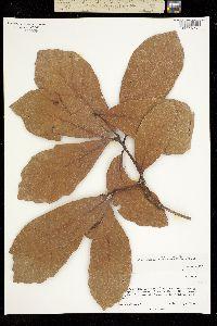 Quercus glaucescens image