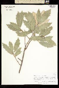 Quercus hypoleucoides image