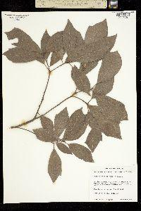 Quercus laurina image