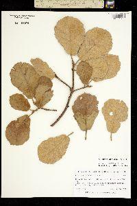 Quercus mcvaughii image