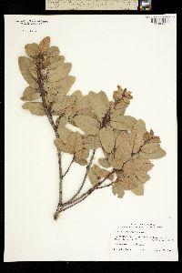 Quercus tomentella image
