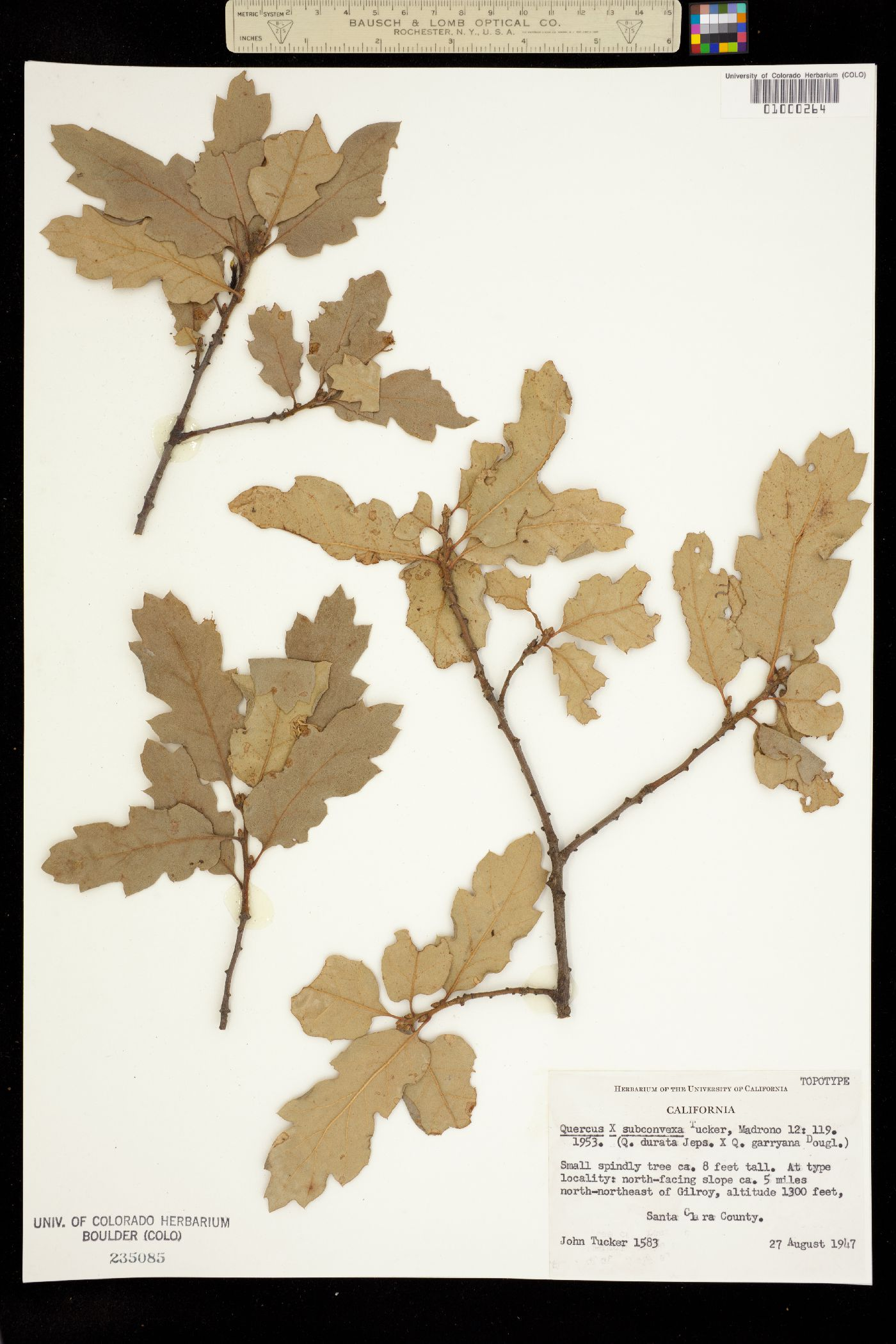 Quercus subconvexa image