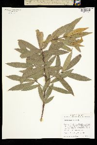 Quercus salicifolia image