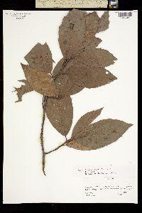 Quercus sartorii image