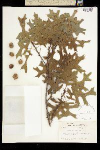 Quercus schneckii image