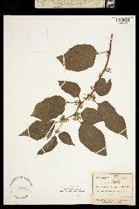 Image of Bassovia macrophylla